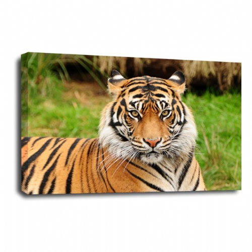Watching You Tiger Animal Canvas Wall Art Picture Print